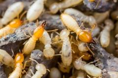 Termite or white ants